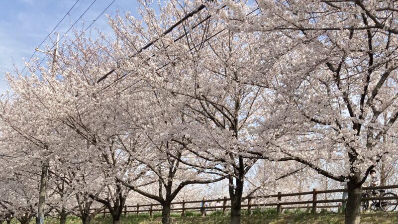 桜🌸ほぼ満開です! 寝屋川市